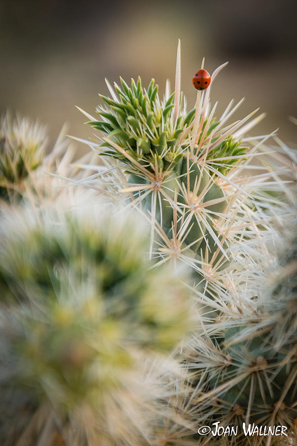 Cactus Photograph - Ladybug landing by Joan Wallner