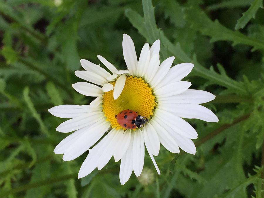 Nature Photograph - Ladybug On Daisy by Patricia Rex