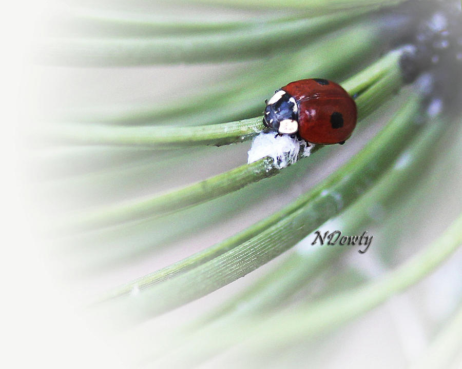 Ladybug on Pine by Natalie Dowty