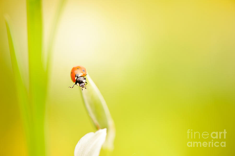 Ladybug red beauty on grass by Arletta Cwalina