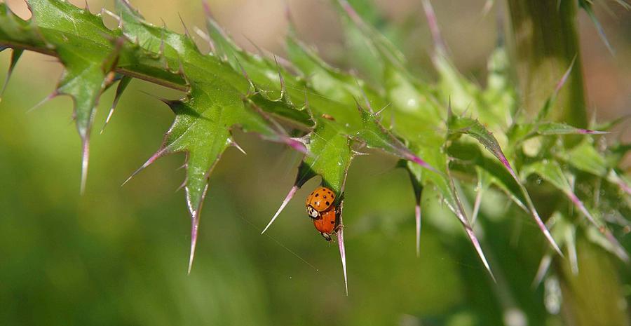 Ladybug Photograph - Ladybugs by Alicia Morales