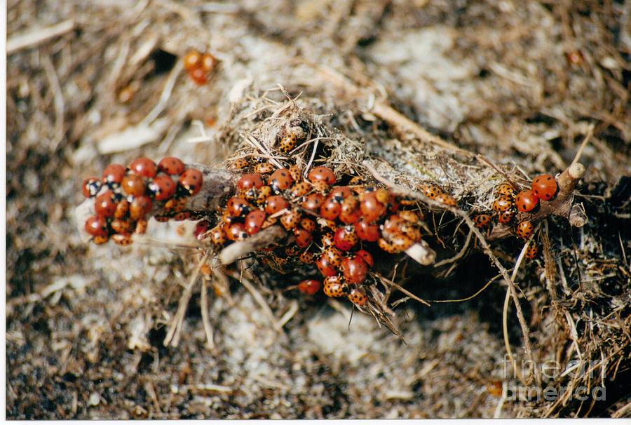 Ladybug Photograph - Ladybugs En Masse by Mary Mikawoz