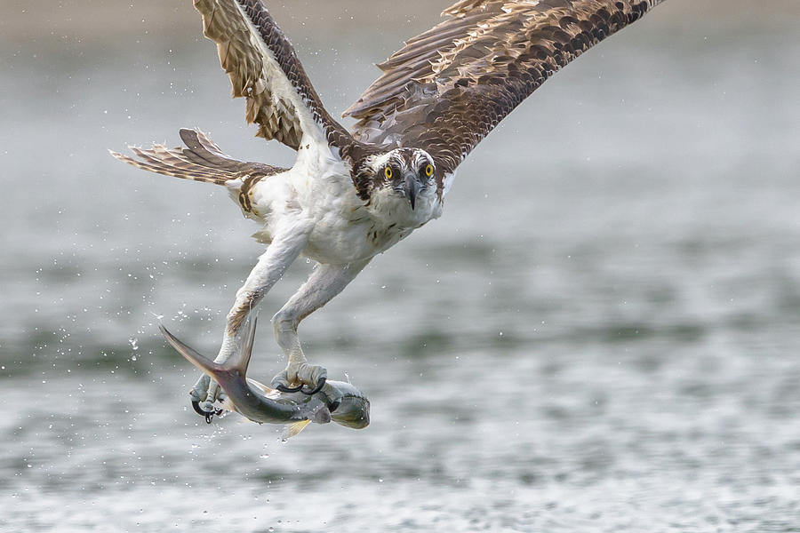 Osprey Photograph - Ladyfish by Jim Gray