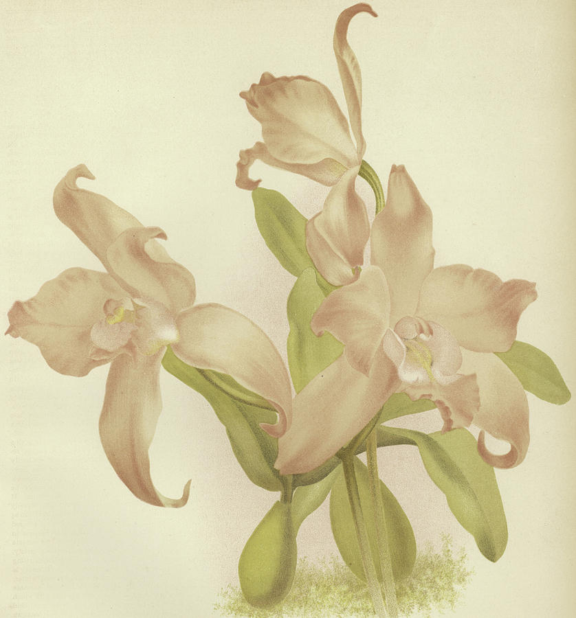 Orchid Painting - Laelia Autumnalis Venusta by English School