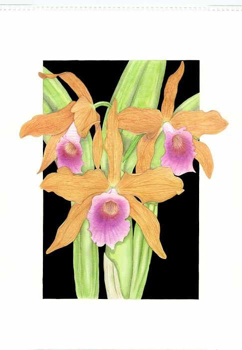 Orchid Painting - Laelia Tenebrosa by Darren James Sturrock