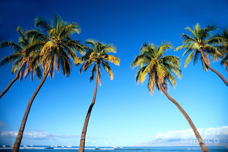 Bark Photograph - Lahaina Palms by Carl Shaneff - Printscapes