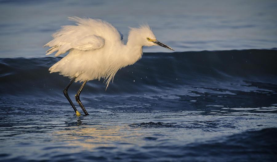 Birds Photograph - Lake Chapala Egret by Dane Strom