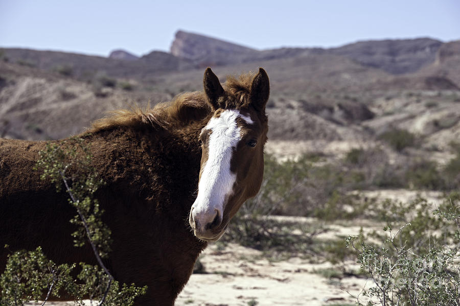 Nevada Mustang Photograph - Lake Mead Mustang by Debbie D Anthony