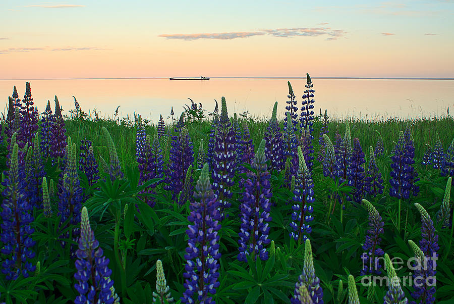Lake Superior Photograph - Laker In The Lupines by Jamie Rabold