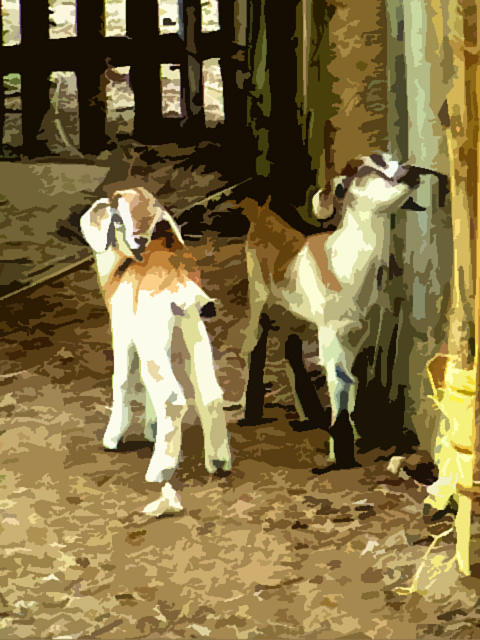 Goats Photograph - Lakshadweep Goats by Padamvir Singh