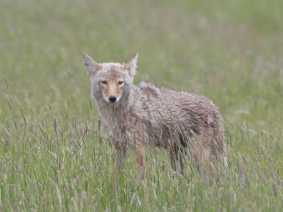 Wildlife Photograph - Lamar Valley Coyote by Dan Sproul