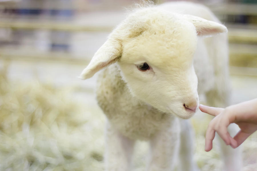 Child Photograph - Lamb At Denver Stock Show by Anda Stavri Photography