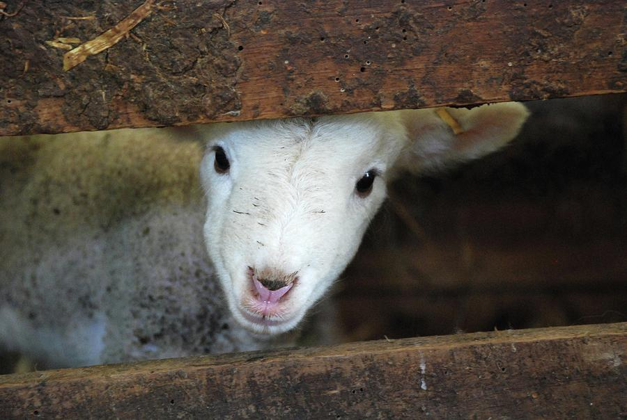 Horizontal Photograph - Lamb by Christy Majors
