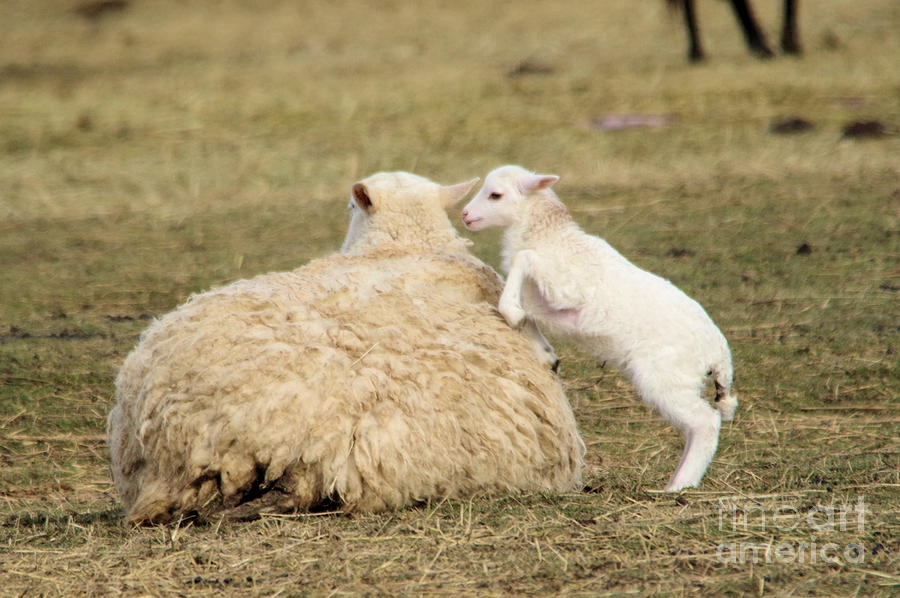 Lamb Jumping On Mom Photograph By Jeff Swan