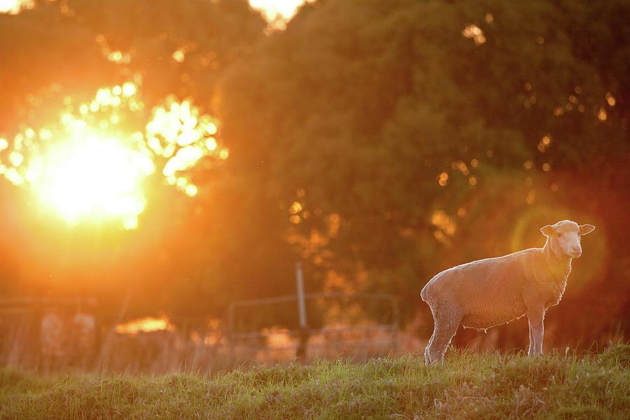 Lamb Of God Photograph by Robert Lang Photography
