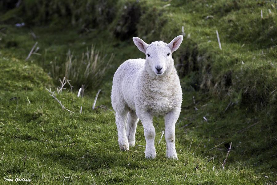 Lamb Photograph - Lamb On The Isle Of Skye by Fran Gallogly