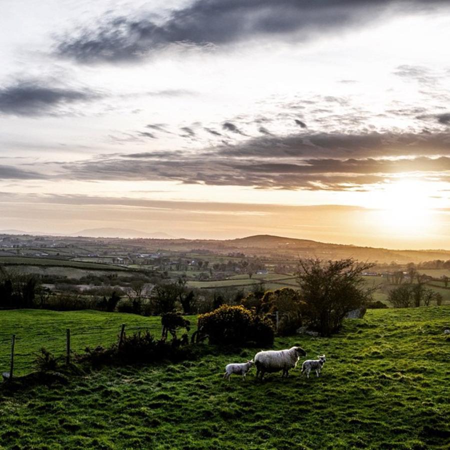 Sheep Photograph - Lambs by Aleck Cartwright