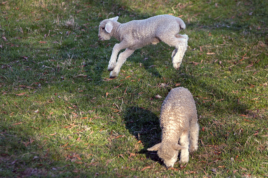 Lambs Photograph - Lambs Frolicking by Jerry Gammon