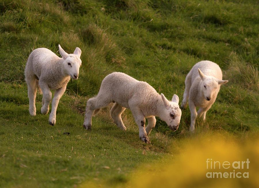 Lamb Photograph - Lambs On The Meadow by Angel Ciesniarska