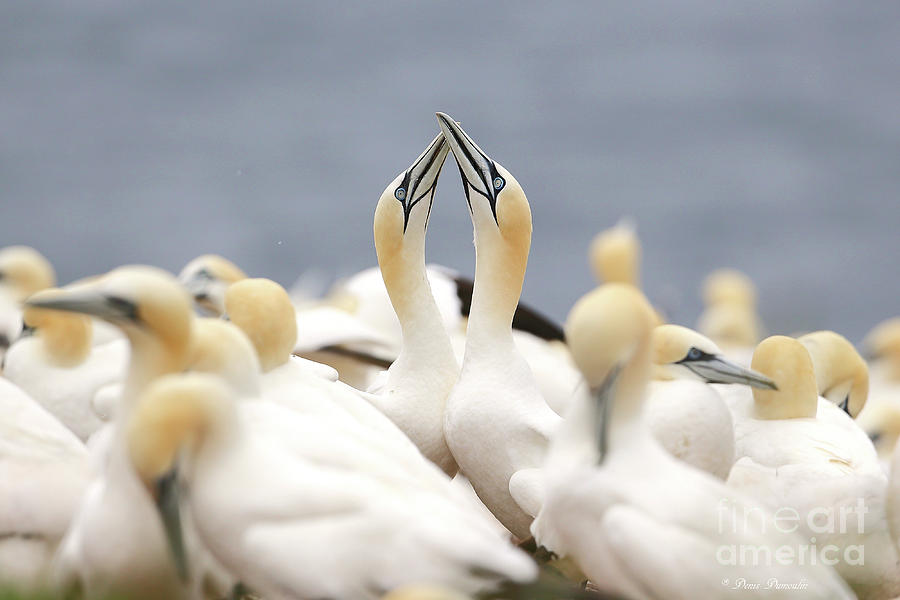 Bird Photograph - Lamour Fou. by Denis Dumoulin