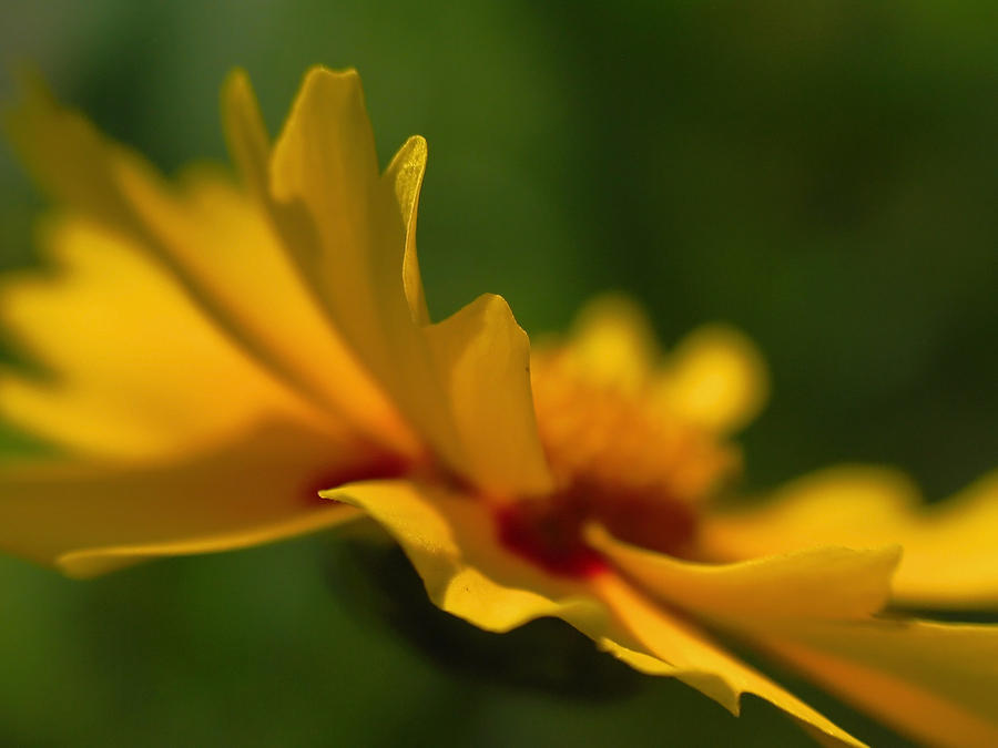 Abstract Photograph - Lance Leaved Coreopsis by Juergen Roth