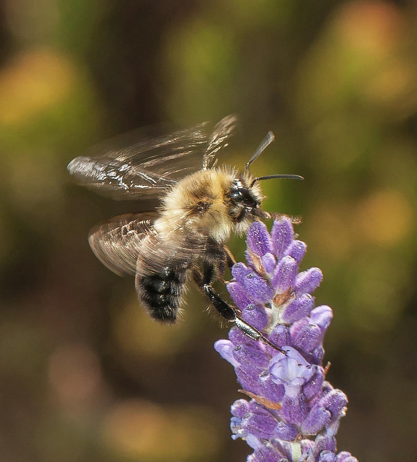 Landing on Lavender by Len Romanick