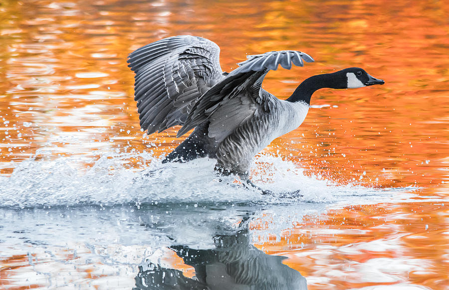Canadian Goose Photograph - Landing by Parker Cunningham