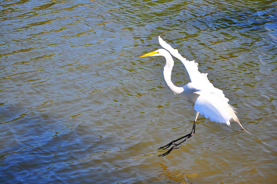 Birds Photograph - Landing1 by Len Barber