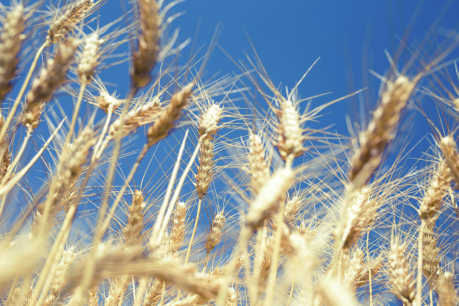 Landscape Photo Of Golden Wheat Field Ready For Harvest