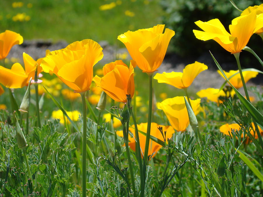 Landscape poppy flowers 5 orange poppies hillside meadow art poppies photograph landscape poppy flowers 5 orange poppies hillside meadow art by baslee troutman mightylinksfo