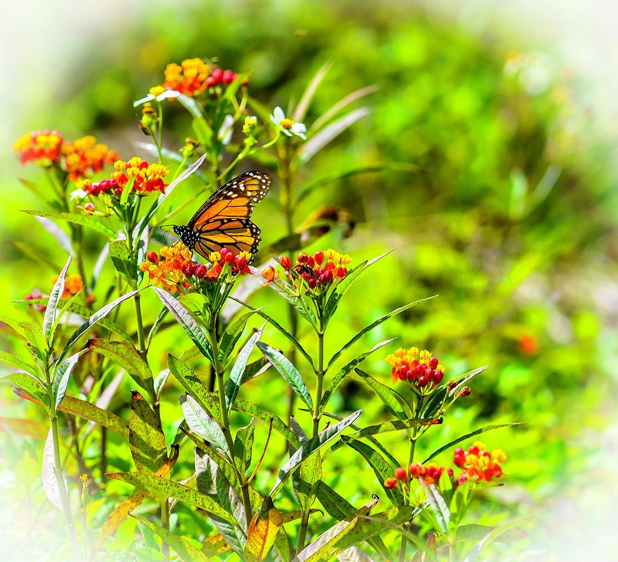 Lantana Monarch by GK Hebert Photography