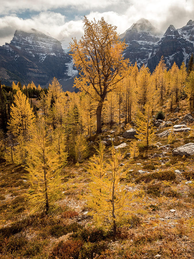 Larch Family by Emily Dickey