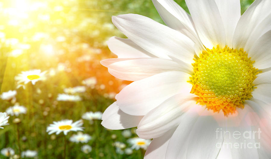 Aroma Photograph - Large Daisy In A Sunlit Field Of Flowers by Sandra Cunningham