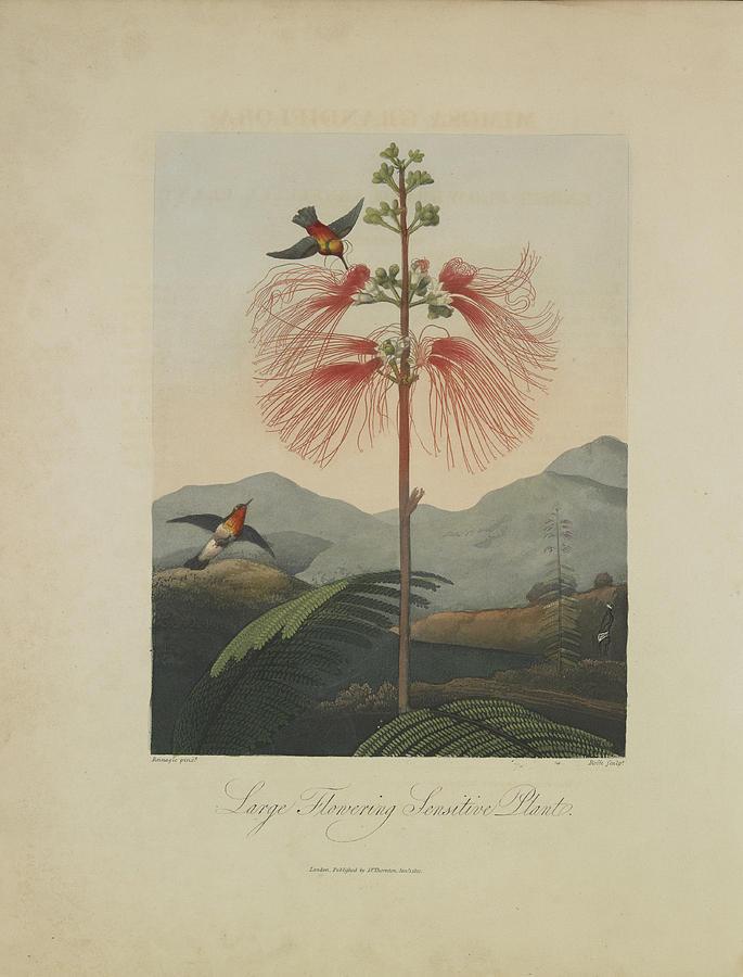 Thornton Drawing - Large Flowering Sensitive Plant by Robert John Thornton
