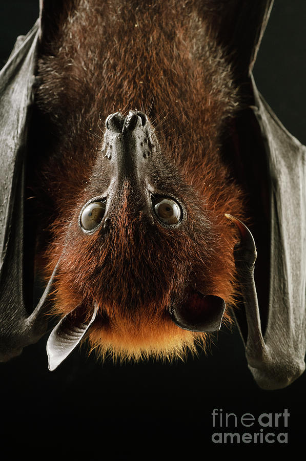Large Flying Fox Roosting by Chien Lee