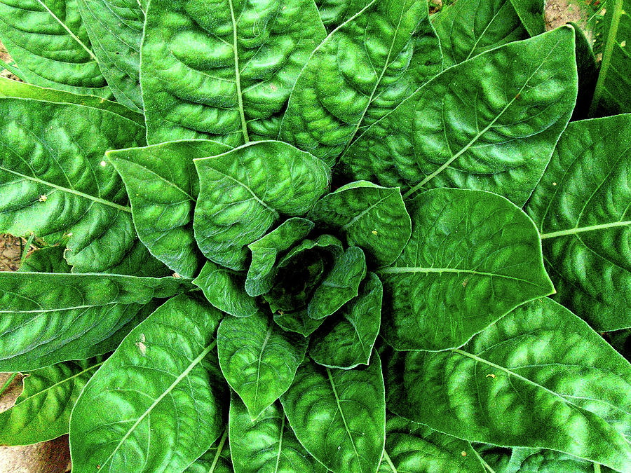 Green Photograph - Large Green Display Of Concentric Leaves by Hrabina Krystyna