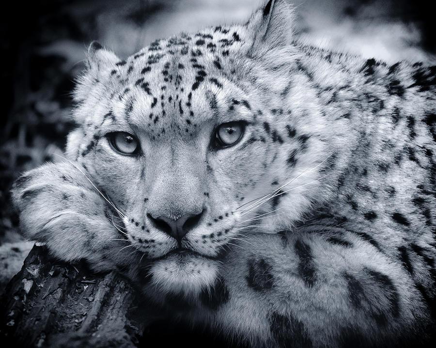 Large Snow Leopard Portrait Photograph By Chris Boulton
