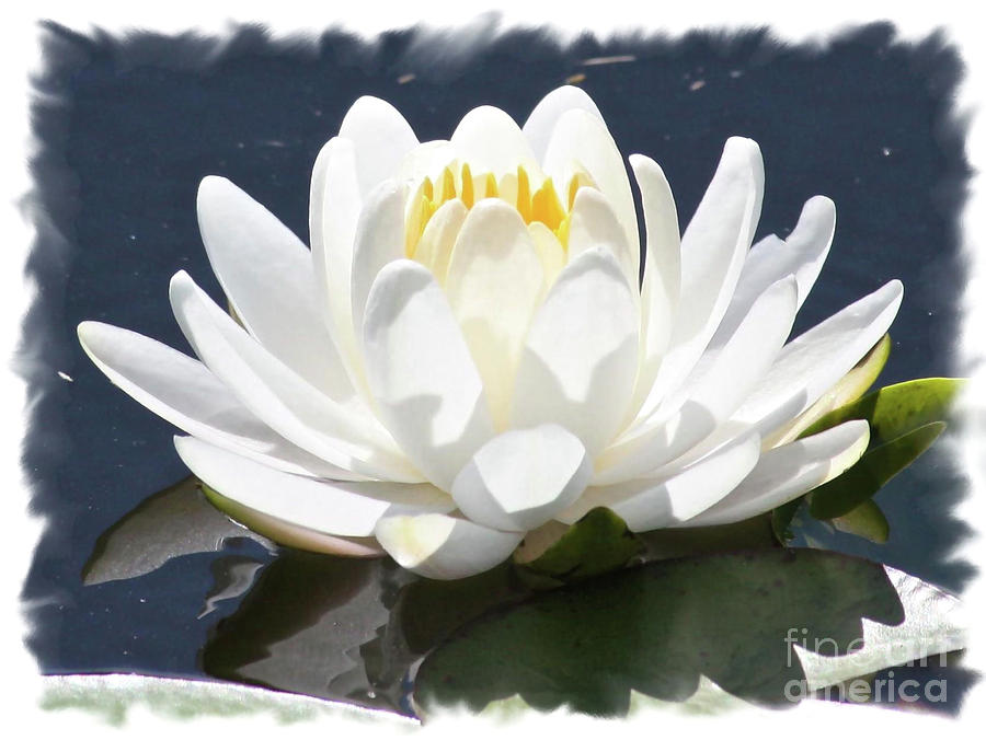 Water Lily Photograph - Large Water Lily With White Border by Carol Groenen