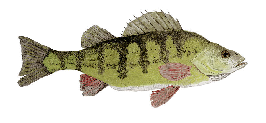 Large Yellow Perch by Thom Glace