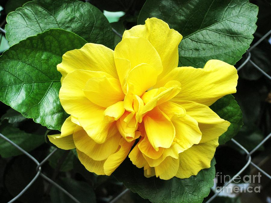 Flower Photograph - Large Yellow Tropical Flower Double Hibiscus by Kathy Daxon