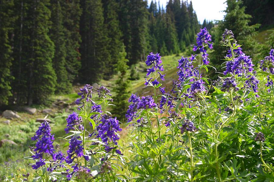 Larkspur Photograph - Larkspur Along Trail Ridge Road by Perspective Imagery