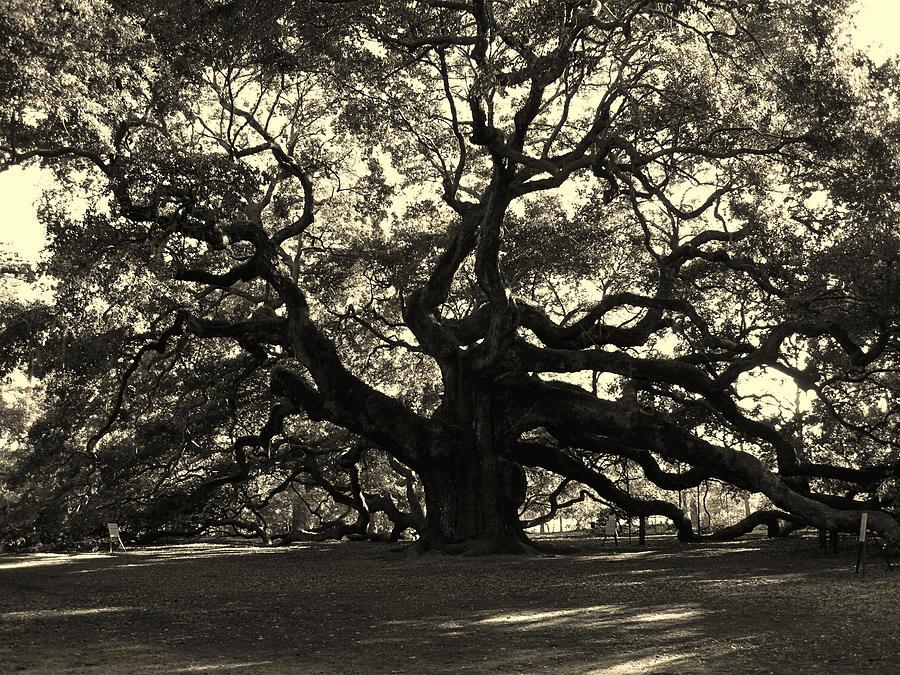 Fine Arts Photograph - Last Angel Oak 72 by Susanne Van Hulst