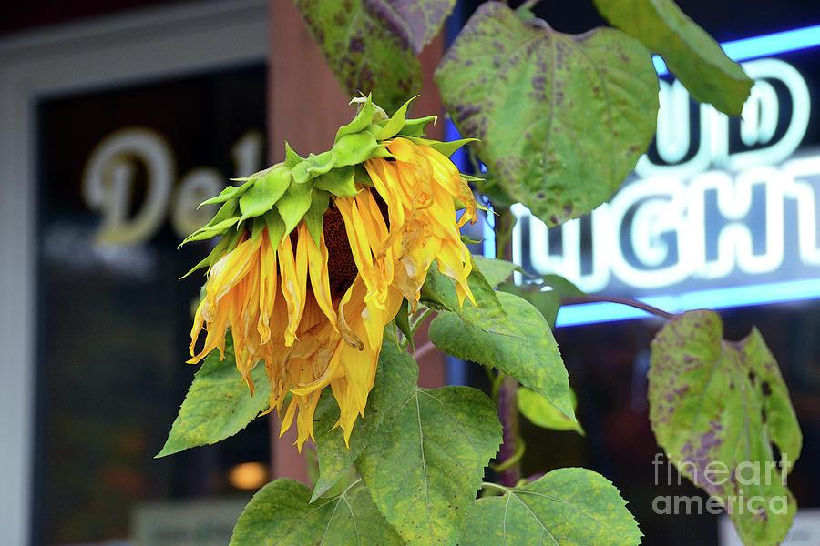 Last Call Sunflower Photograph