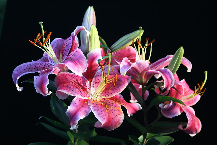 Lillies Photograph - Last Light by David Barker