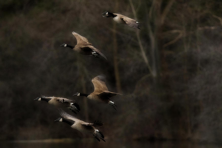 Geese Photograph - Last Light - Geese in Flight by Nikki Vig