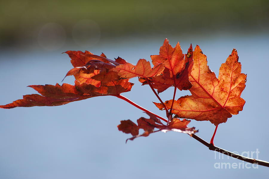 Leaves Photograph - Last Of The Leaves by Joy Bradley