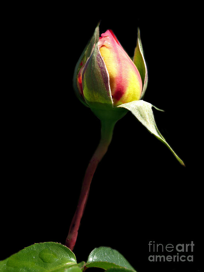 Rose Photograph - Last Rose Of Summer by Kathy Jennings