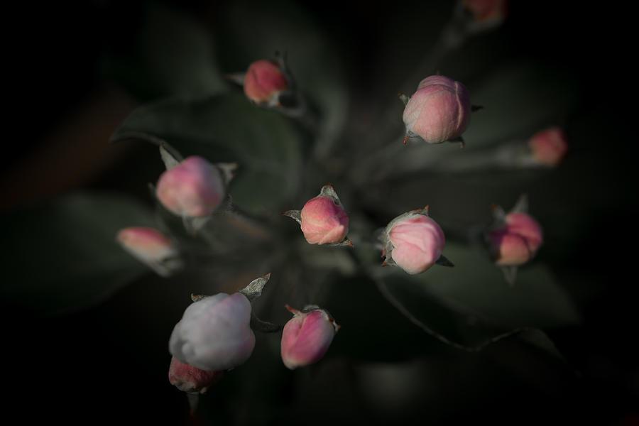 Awakening Photograph - Late May 5 Cluster Of Buds by Jakub Sisak