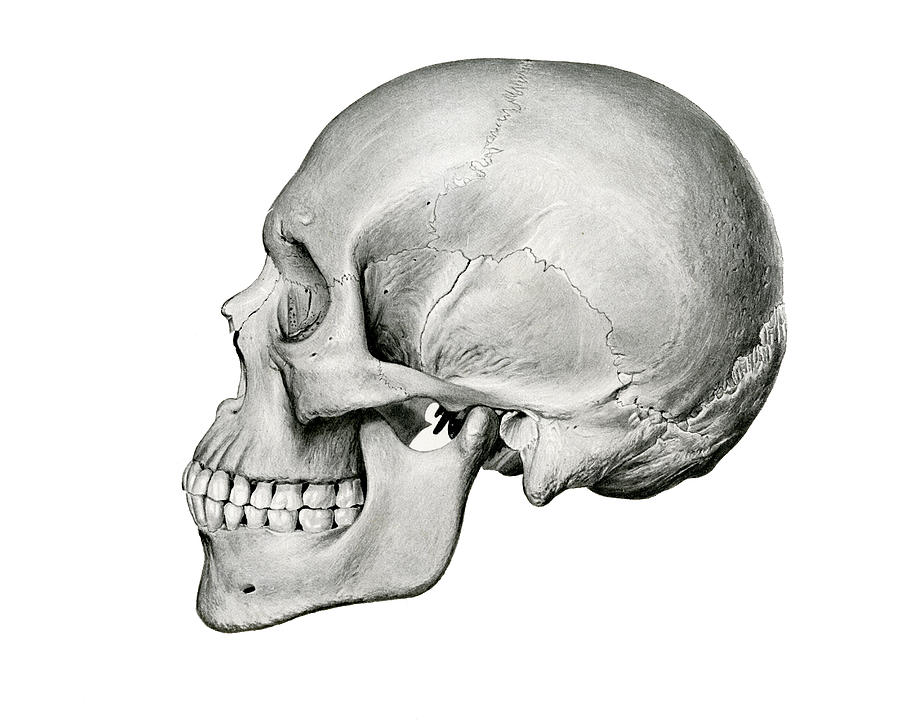 skull drawing lateral view of human skull by german school