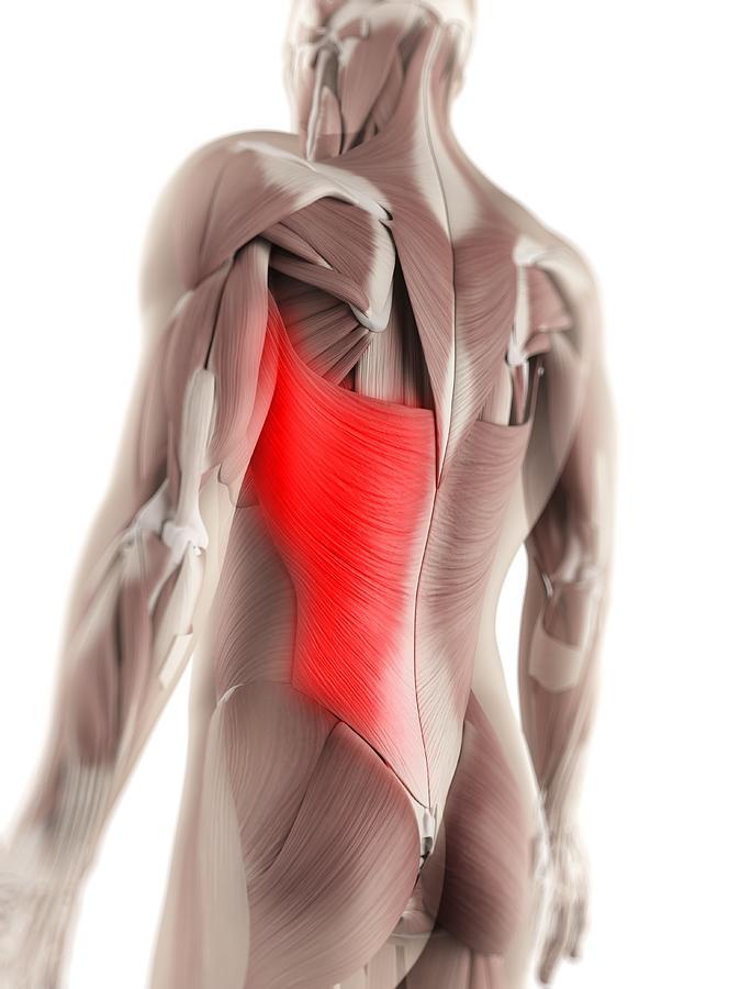 Latissimus Dorsi Muscle, Artwork Digital Art by Sciepro